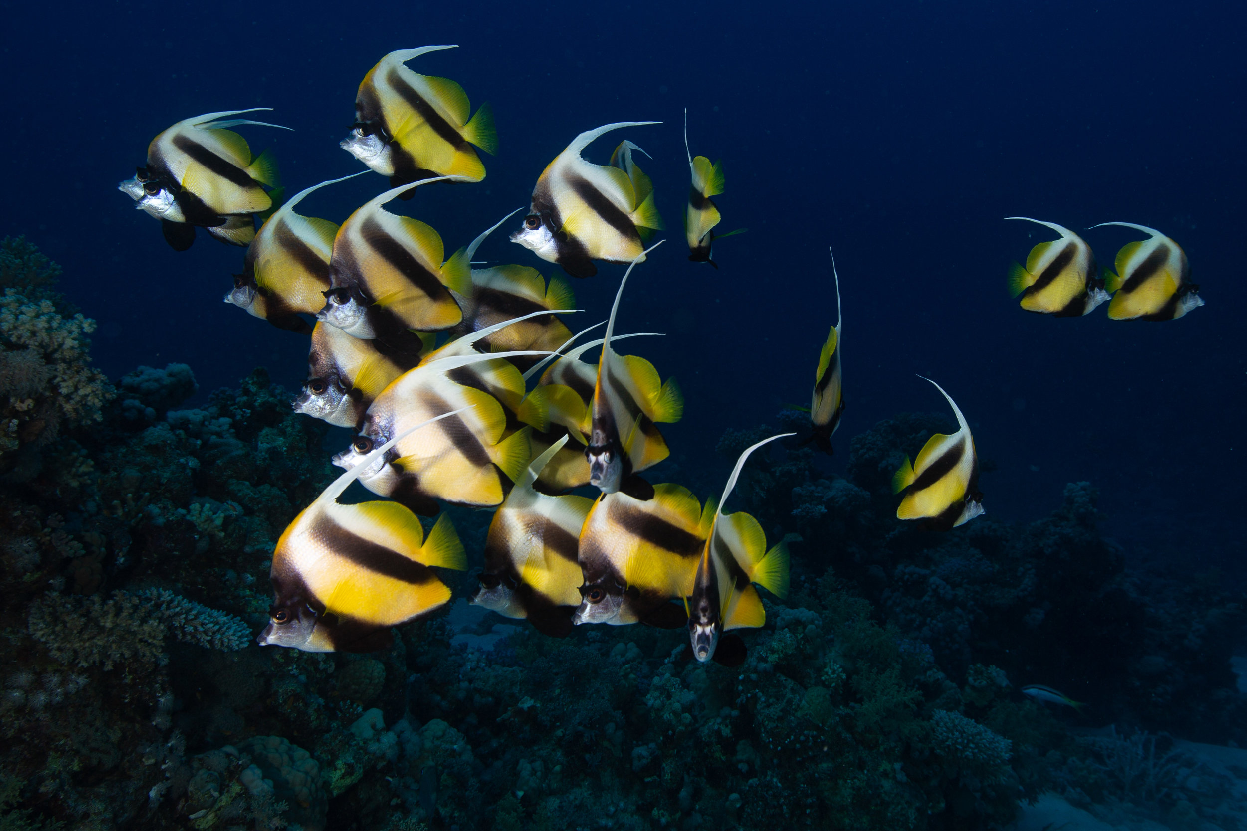 Red Sea Bannerfish, Sharm El Sheikh - Egypt - Wild Earth Expeditions