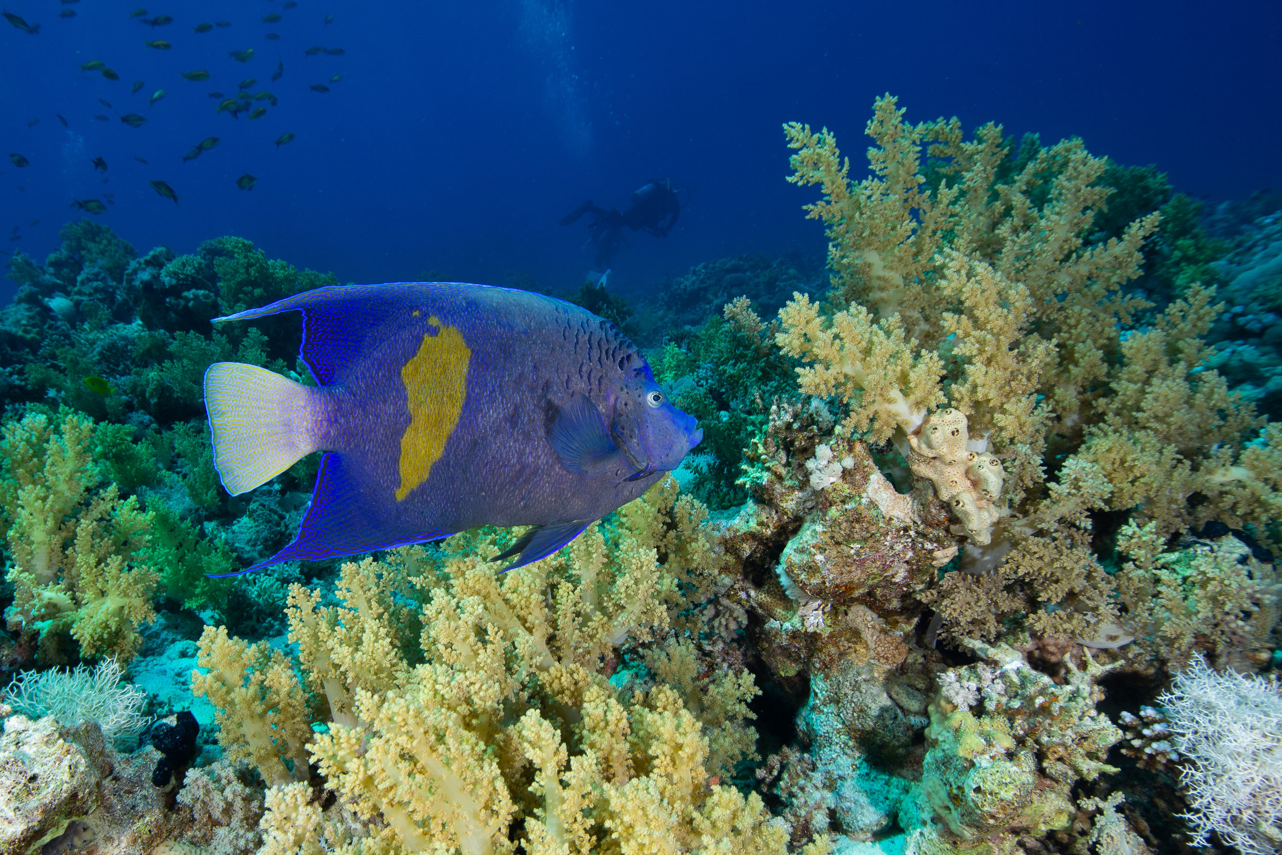 Batfish, Sharm El Sheikh, Red Sea - Egypt - Wild Earth Expeditions