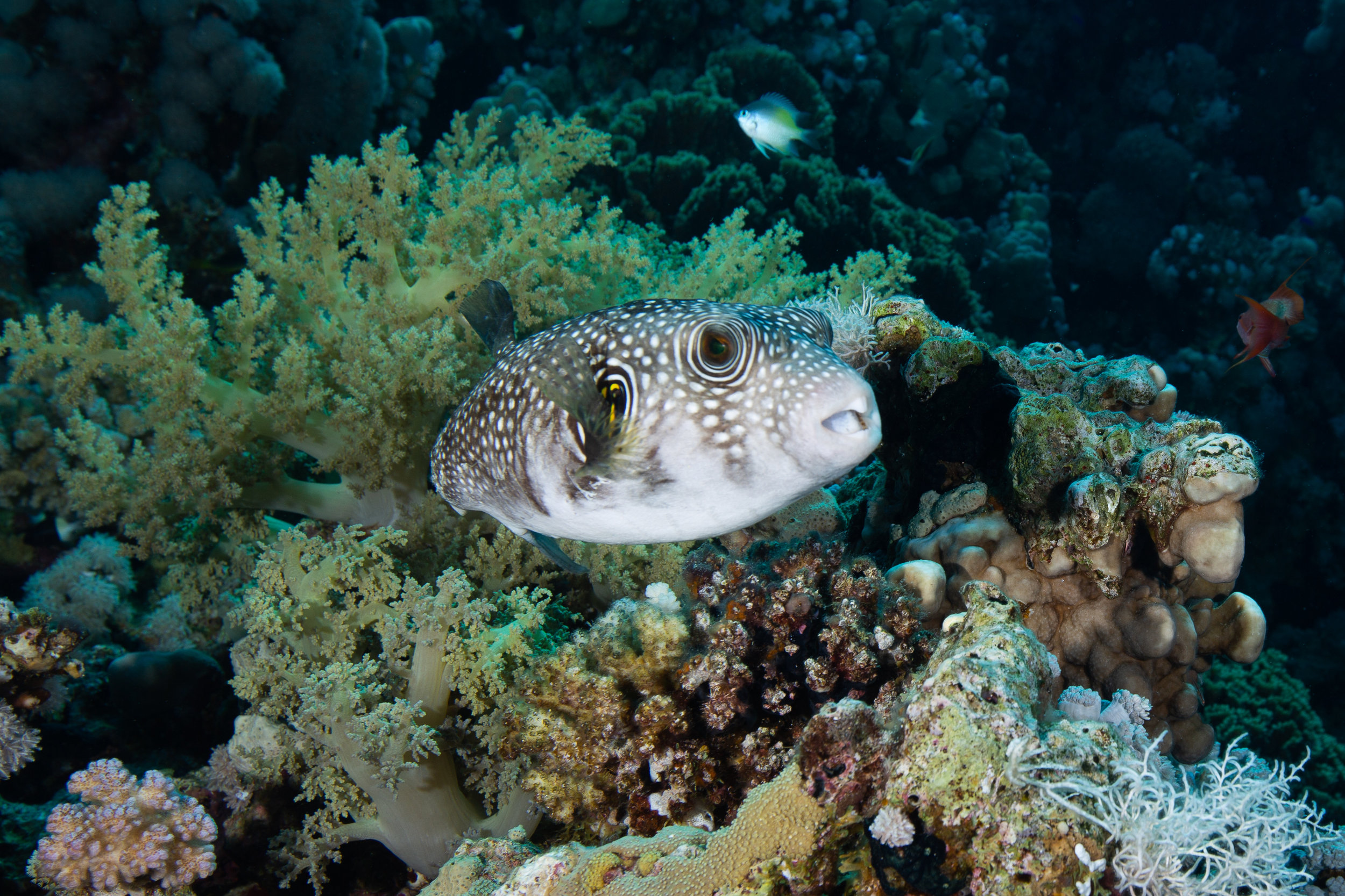 Pufferfish, Sharm El Sheikh, Red Sea - Egypt - Wild Earth Expeditions