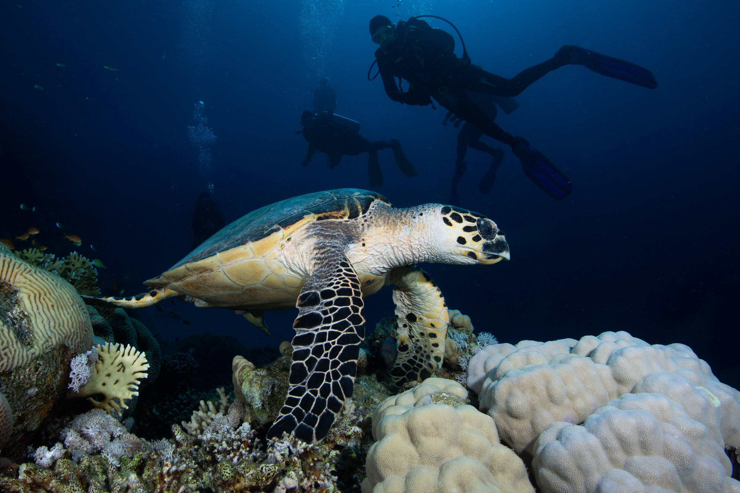 Hawksbill Turtle, Sharm El Sheikh, Red Sea - Egypt - Wild Earth Expeditions