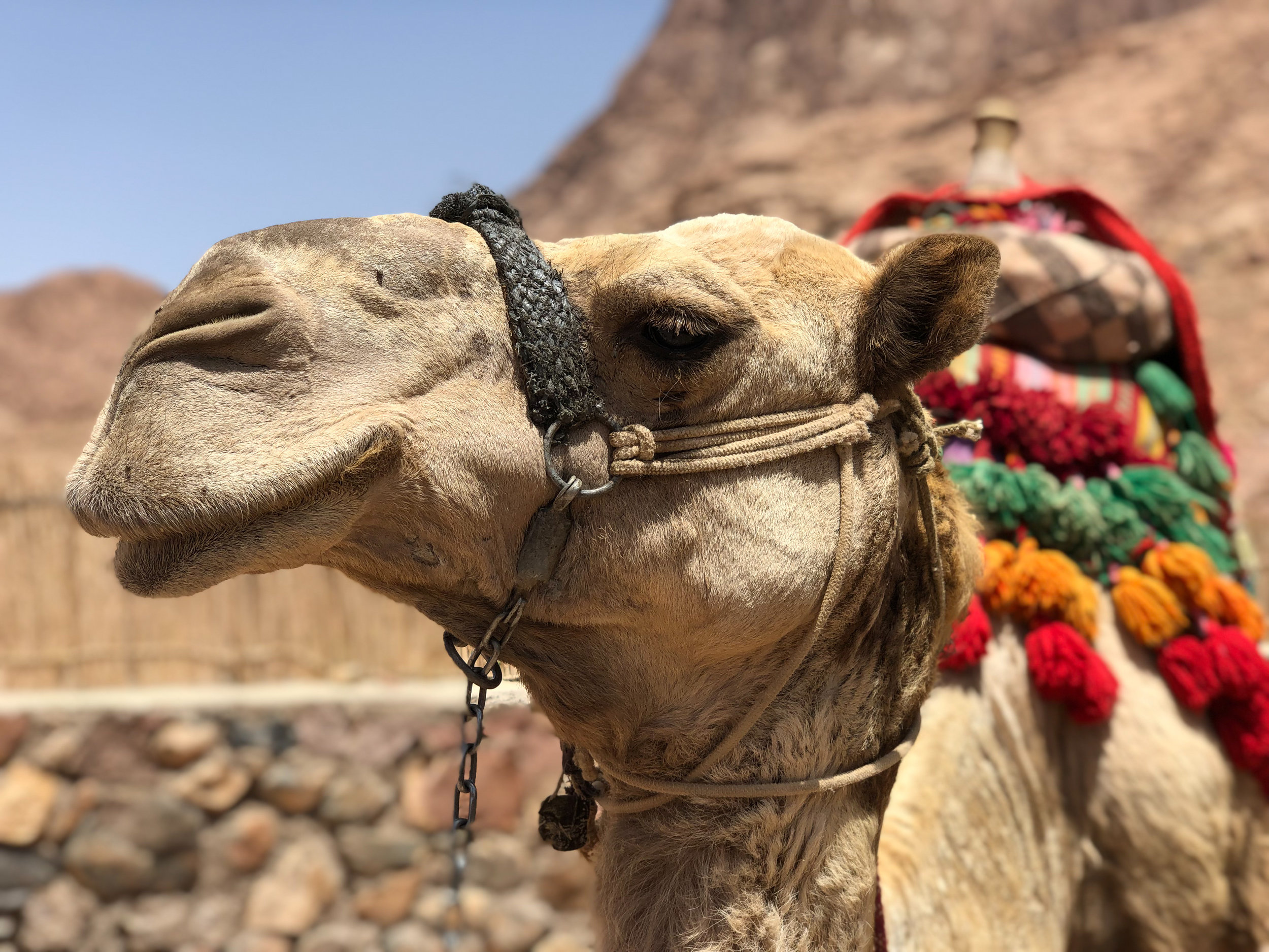 Camel, Sinai - Egypt - Wild Earth Expeditions