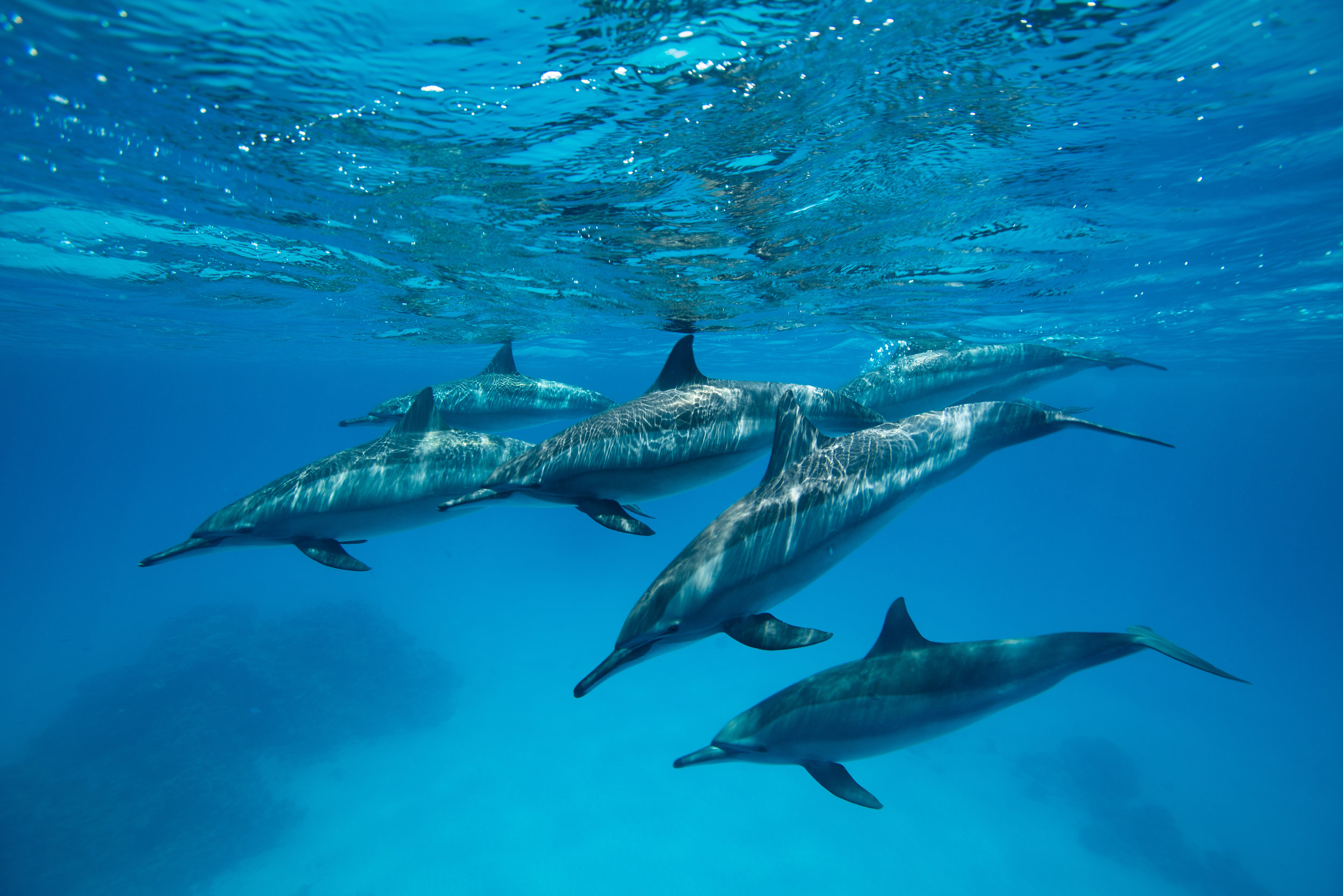 Spinner Dolphins, Sitaya Reef, Red Sea - Egypt - Wild Earth Expeditions