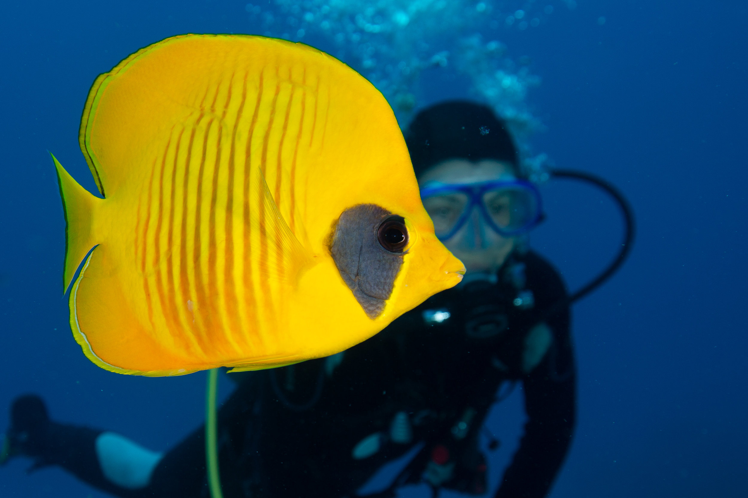 Bluecheeked Butterflyfish, Fury Shoal, Red Sea - Egypt - Wild Earth Expeditions