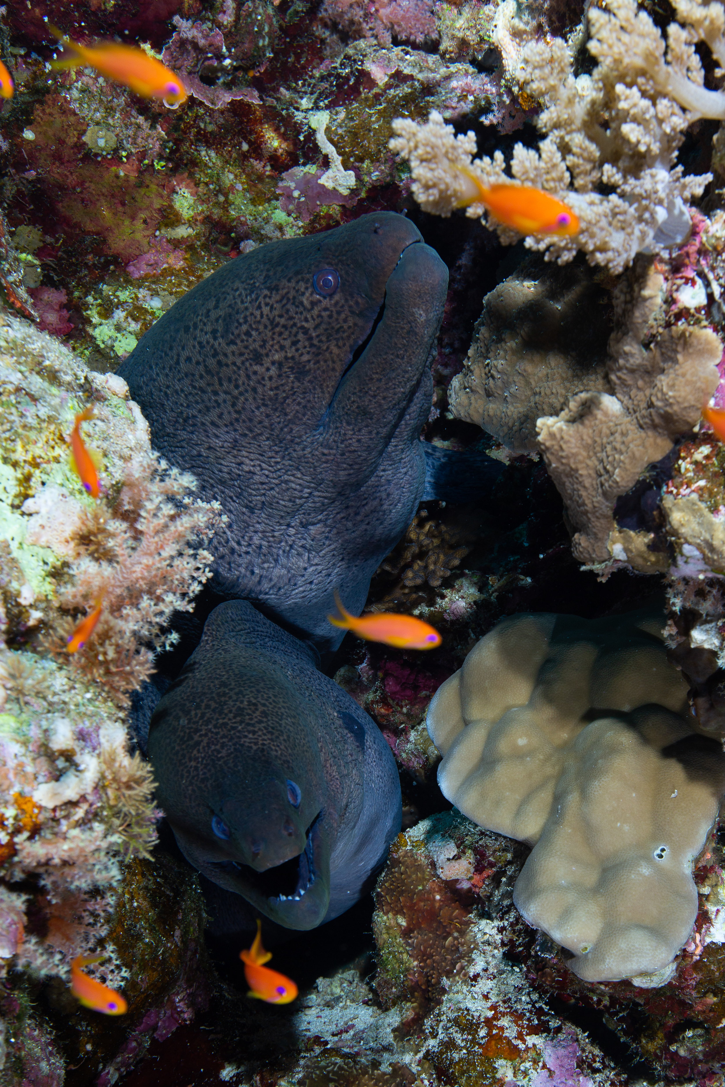 Giant Morays, Fury Shoal, Red Sea - Egypt - Wild Earth Expeditions