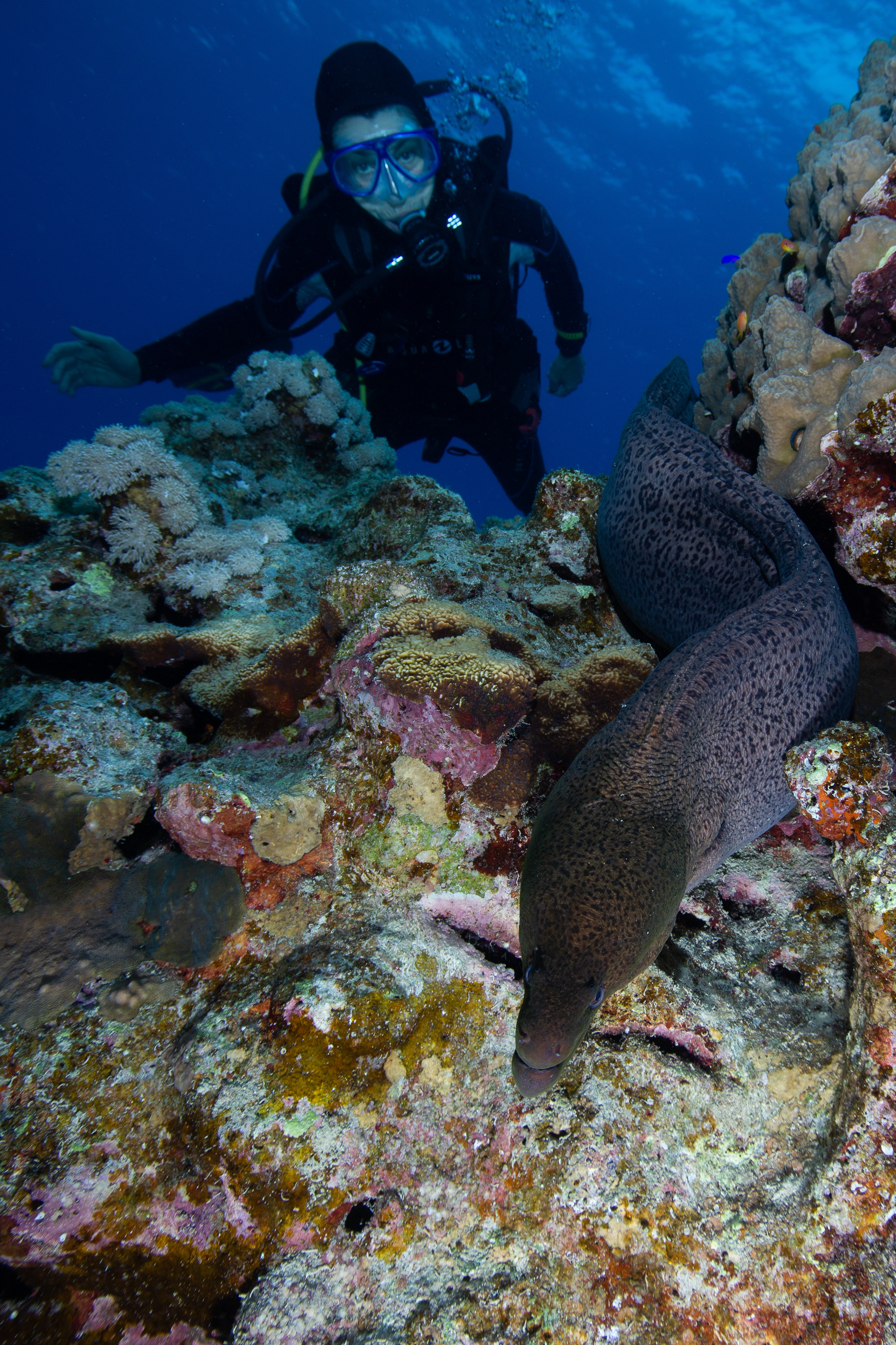 Giant Moray, Fury Shoal, Red Sea - Egypt - Wild Earth Expeditions