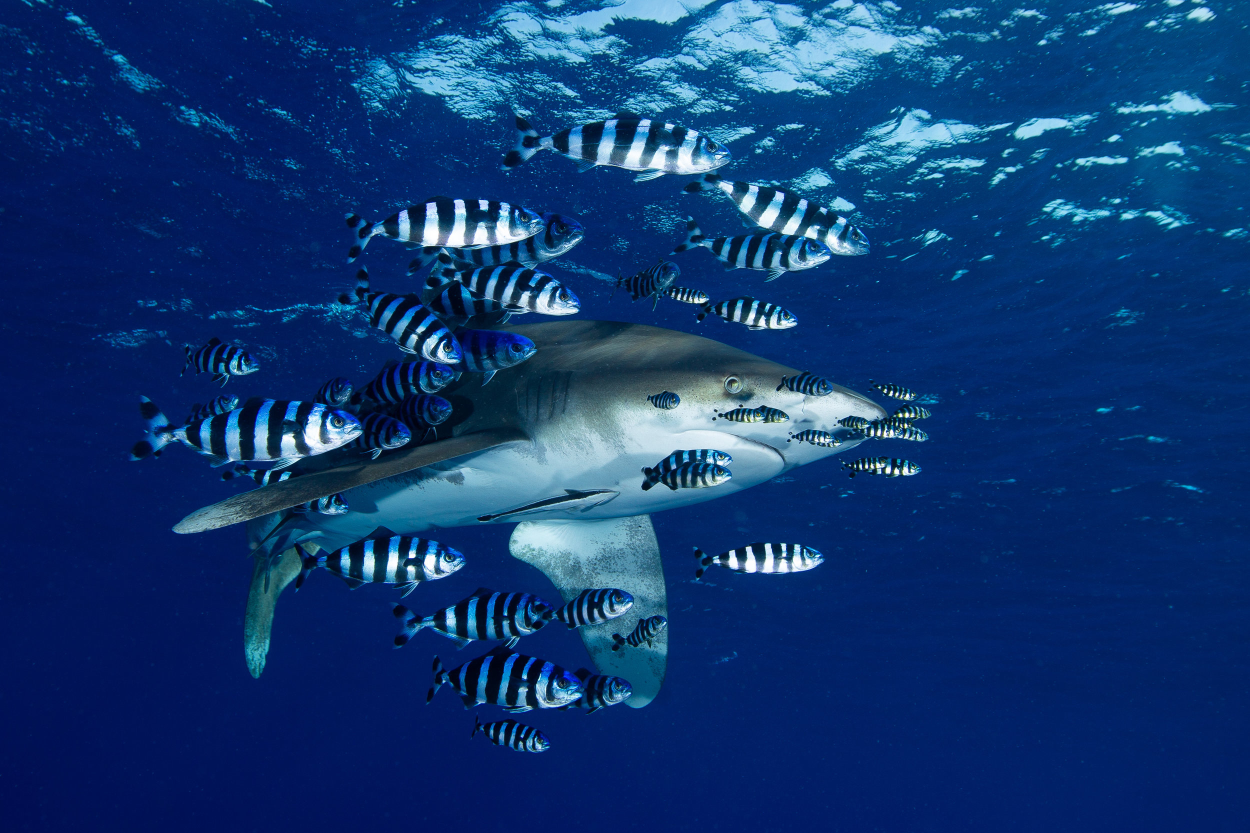 Oceanic White Tip, Elphinstone Reef, Red Sea - Egypt - Wild Earth Expeditions