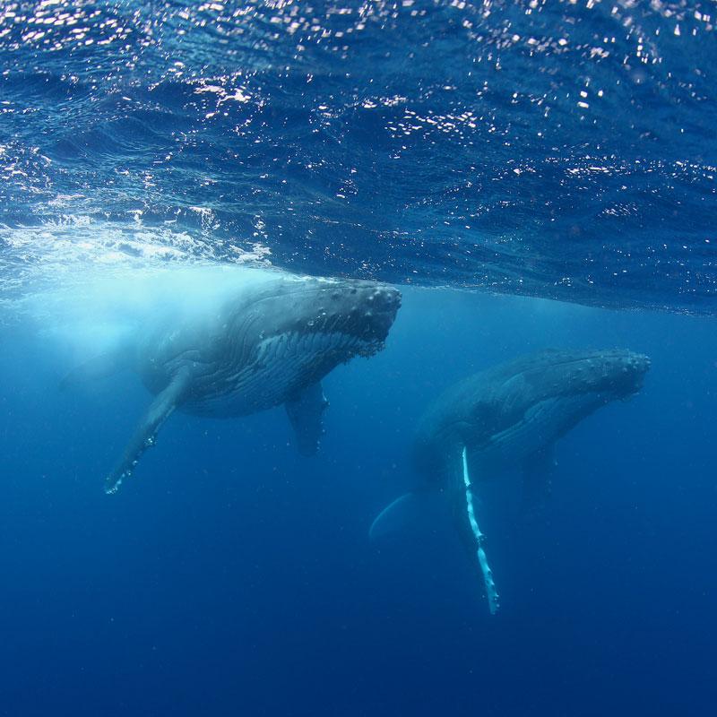 TON_Haapai-Islands-Humpback-Whales-©17-Natalia-Baechtold-853.jpg