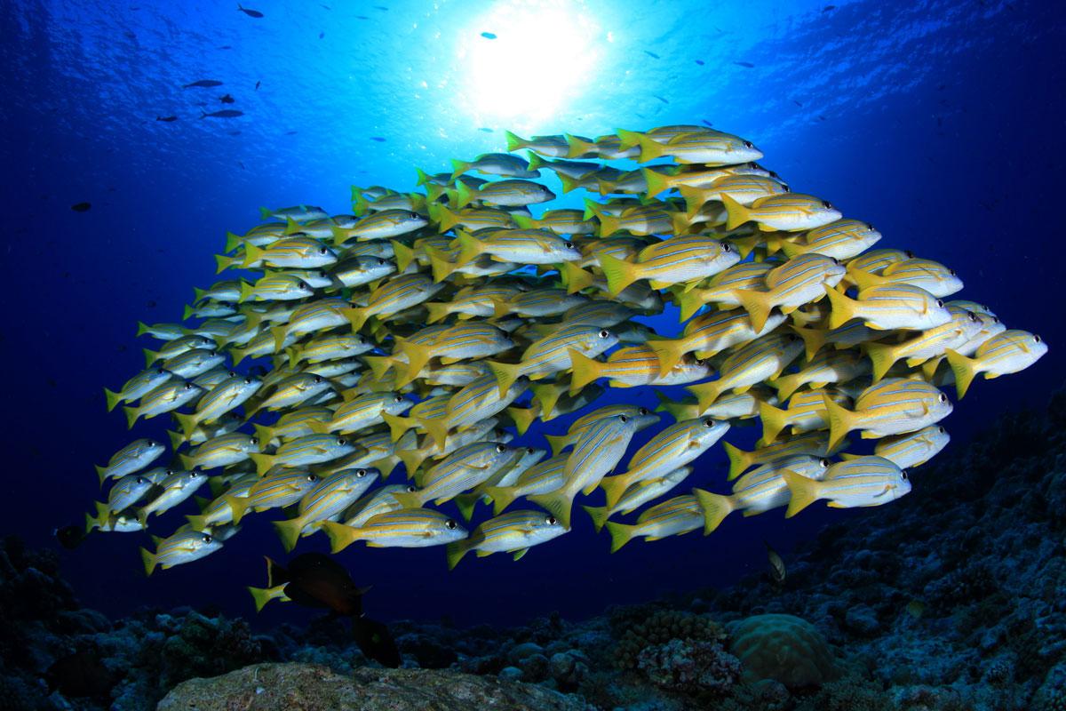 PLW_Siren-Fleet-UW-Snapper-school-©-Siren-Fleet-WWDAS.jpg