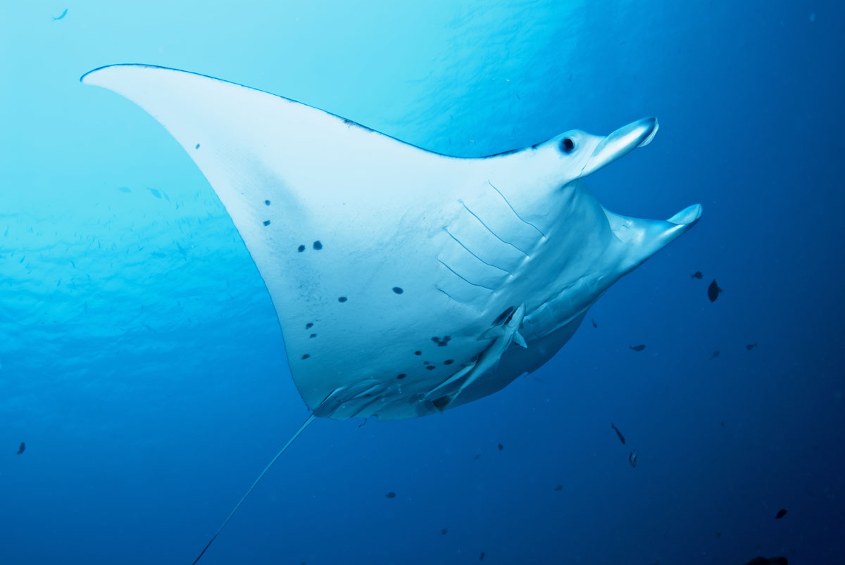 PLW_Palau-Siren-UW-Manta-©-Siren-Fleet-WWDAS.jpg