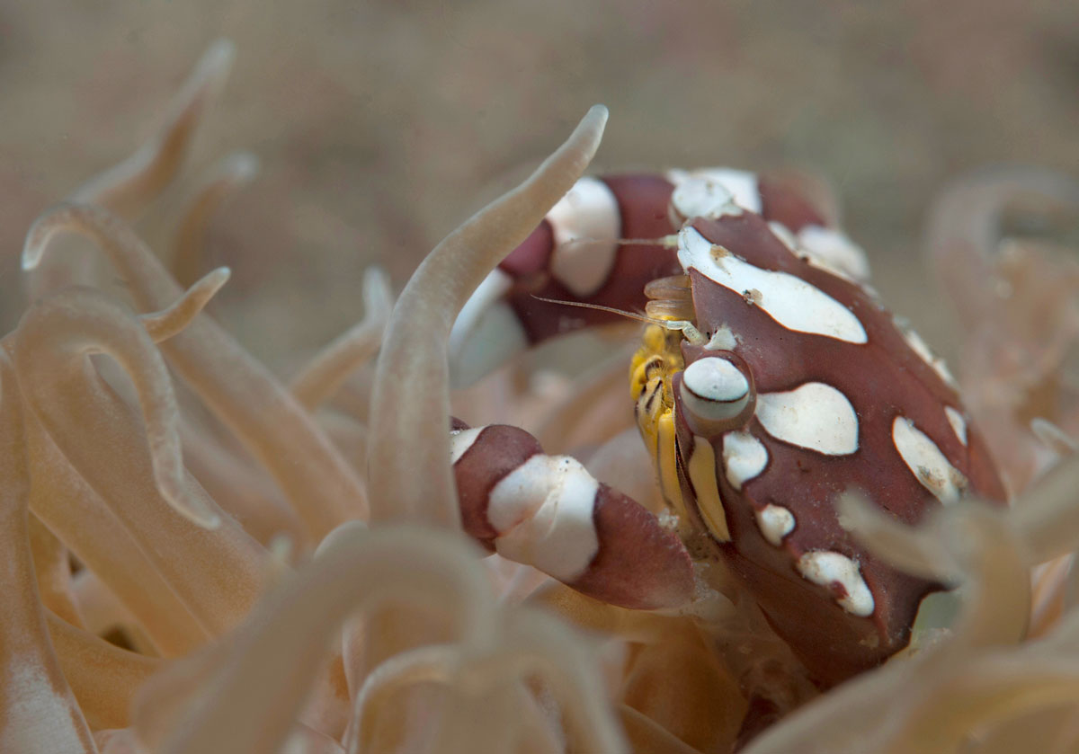 PHL_Dumaguete-UW-Anemone-Crab-©-Atmosphere-Resort-49.jpg