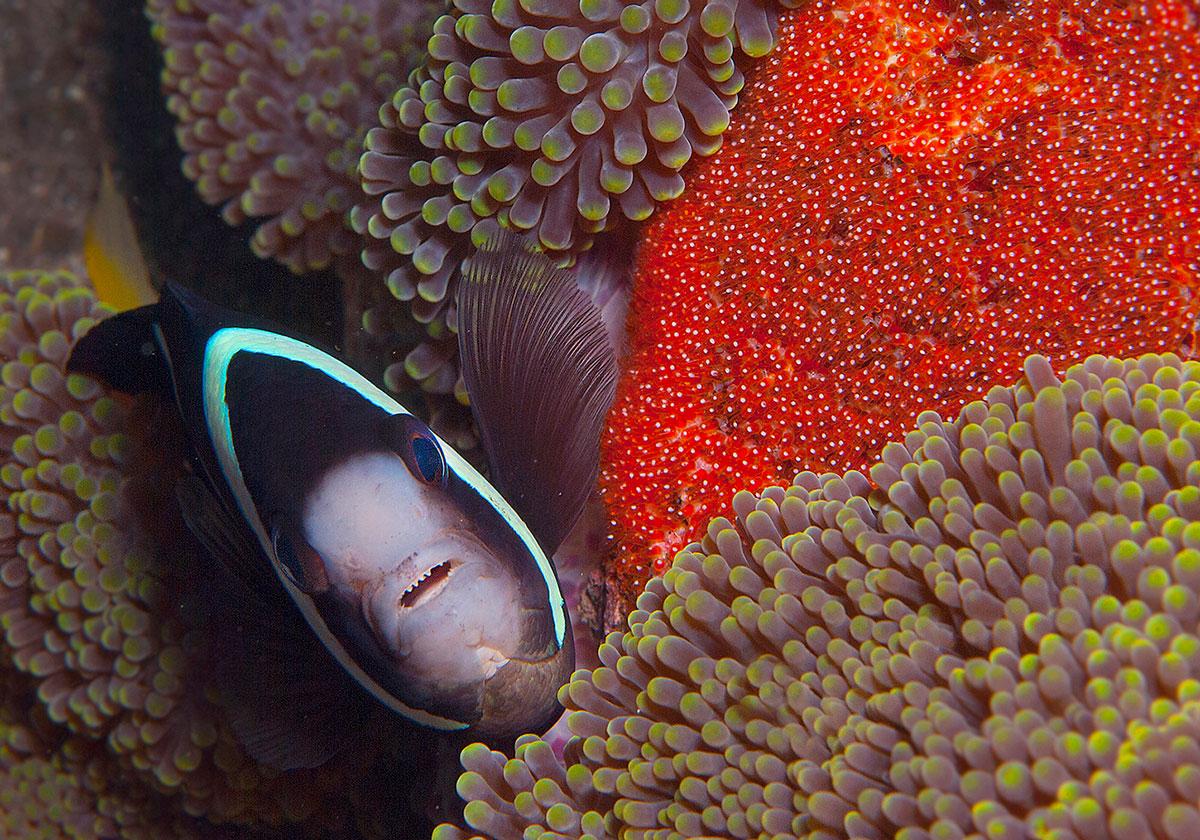 PHL_Dumaguete-UW-Anemone-Fish-w-Eggs-©-Atmosphere-Resort-42.jpg
