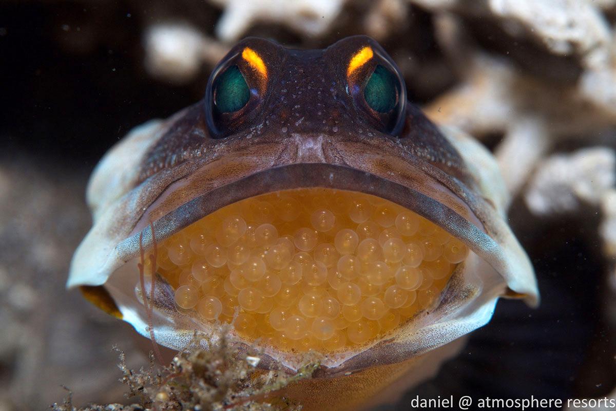PHL_Dumaguete-UW-Jaw-Fish-©-Atmosphere-Resort-69.jpg