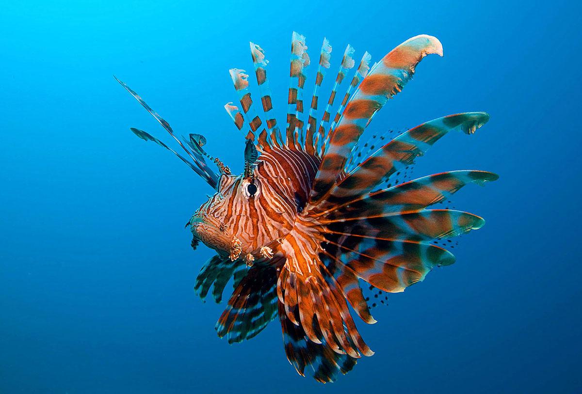 PHL_Dumaguete-UW-Lionfish-©-Atmosphere-Resort-10.jpg