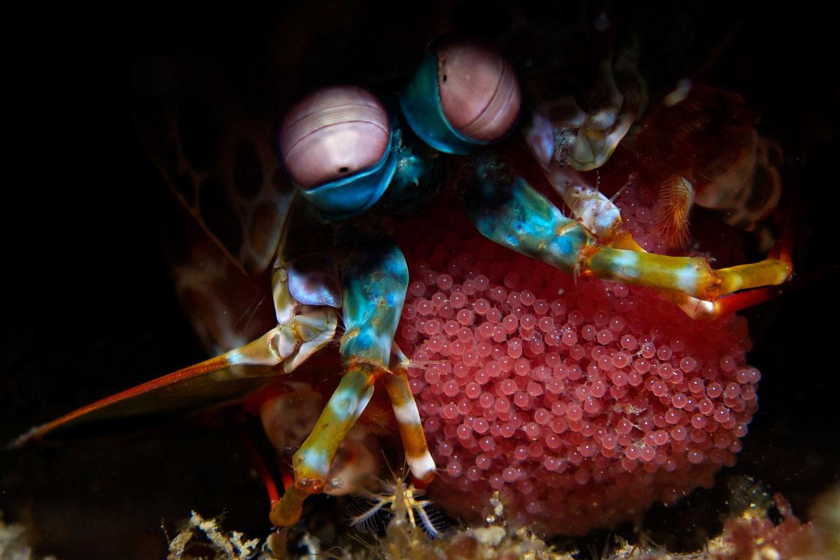 PHL_Dumaguete-UW-Mantas-Shrimp-w-Eggs-©-Atmosphere-Resort-86.jpg