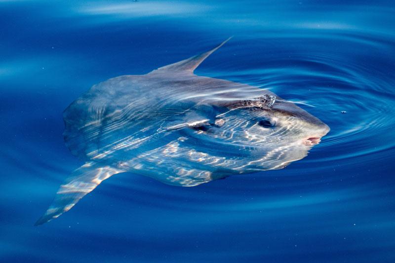 IDN_Indonesia-UW-Mola-mola-Sunfish-at-surface-©-AdobeStock_176389719.jpg