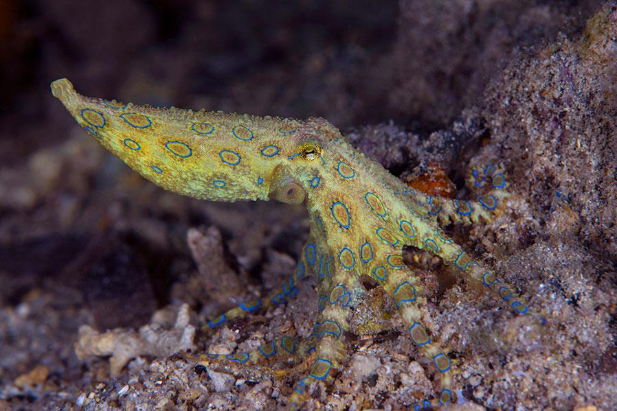 IDN_MV-Pelagian-UW-Blue-ringed-octopus-©-Wakatobi-Resort-NW002.jpg