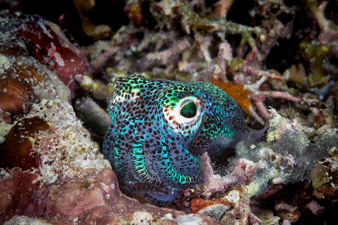 IDN_MV-Pelagian-UW-Bobtail-Squid-©-Wakatobi-Resort-073.jpg