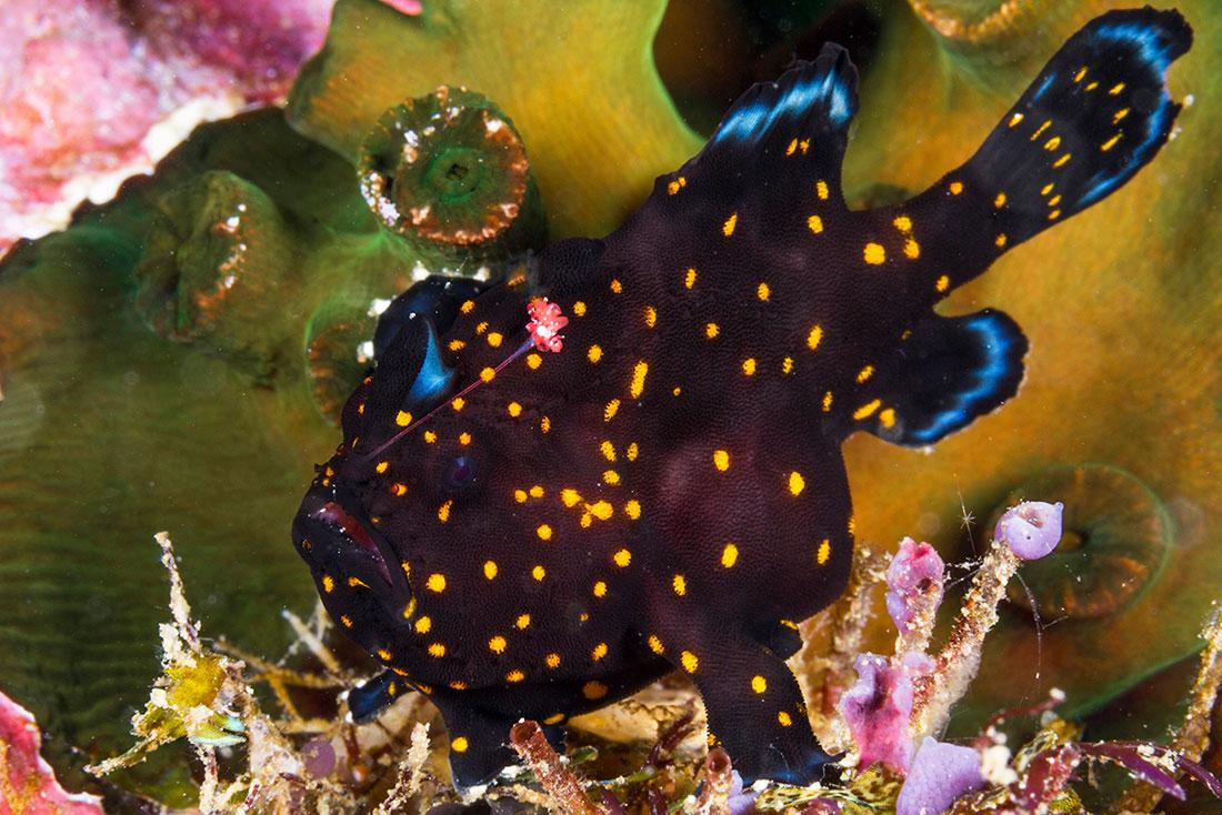IDN_MV-Pelagian-UW-Frogfish-©-Wakatobi-Resort-053.jpg