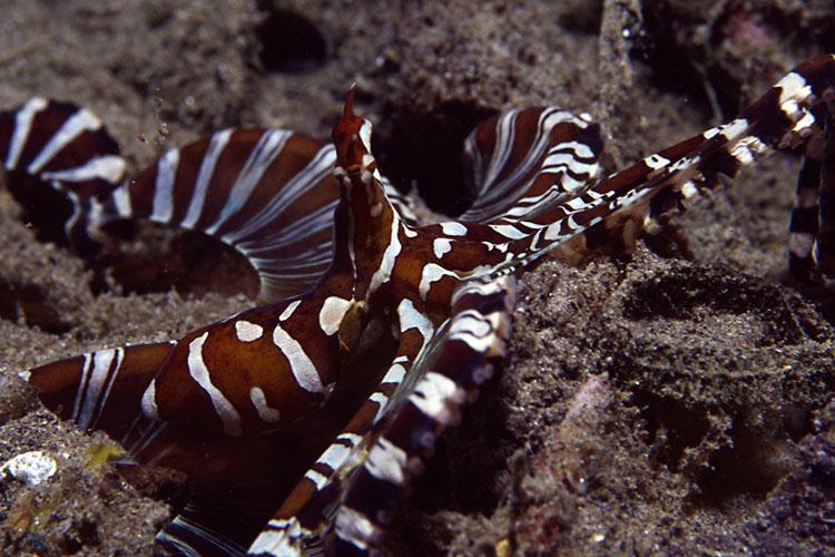IDN_MV-Pelagian-UW-Wonderpus-octopus-©-Wakatobi-Resort.jpg