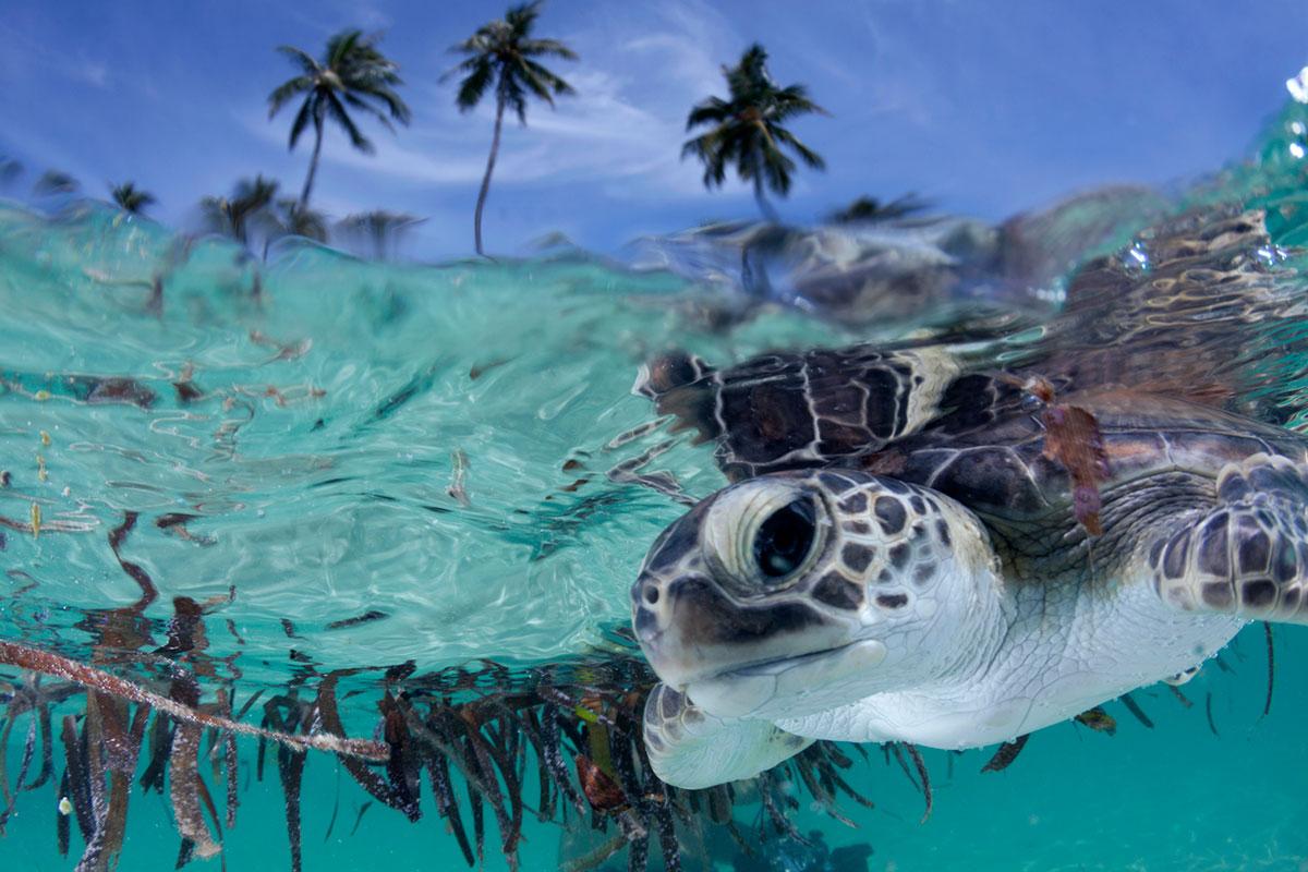 IDN_Wakatobi-Resort-UW-House-Reef-Baby-Turtle-©-Wakatobi-Resort-009.jpg