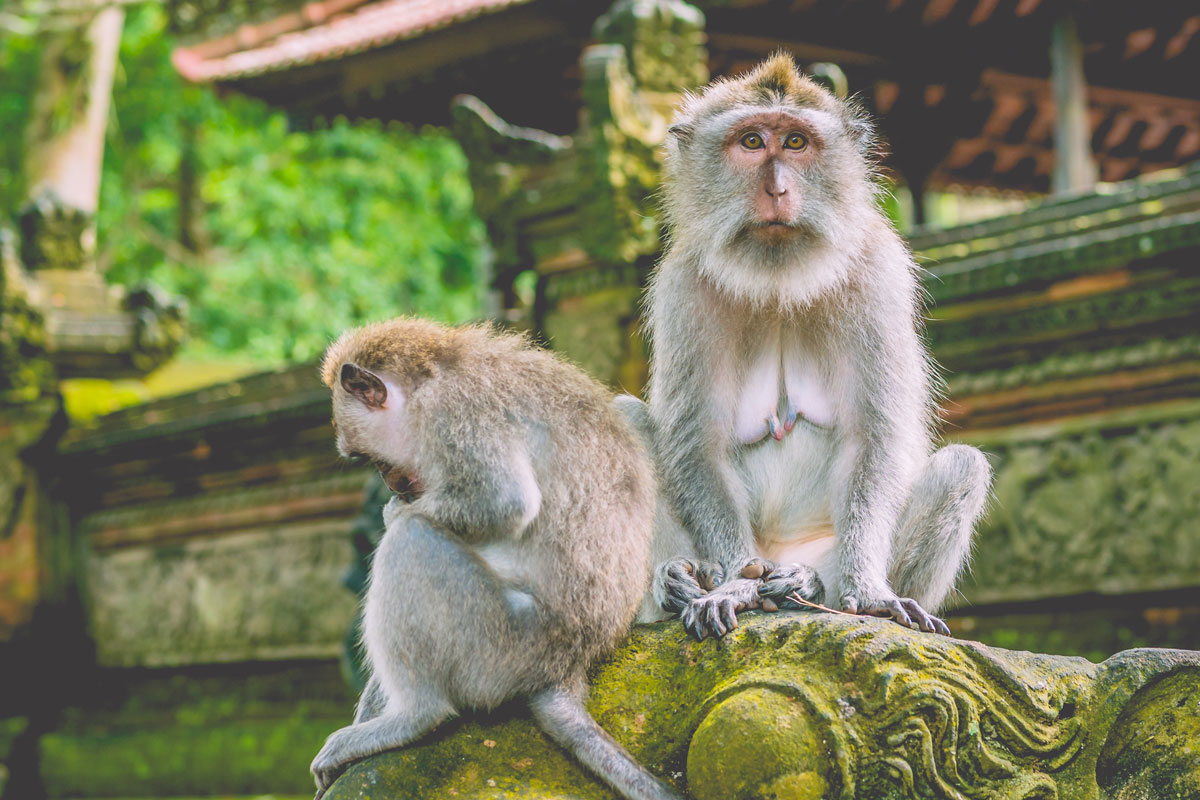 IDN_Indonesia-Long-tailed-Macaque-Monkey-©-AdobeStock_144032712.jpg