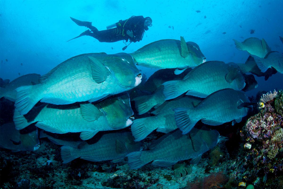 IDN_Indonesia-UW-diver_und_bumpheads_raja_ampat-©-WWDAS-001.jpg