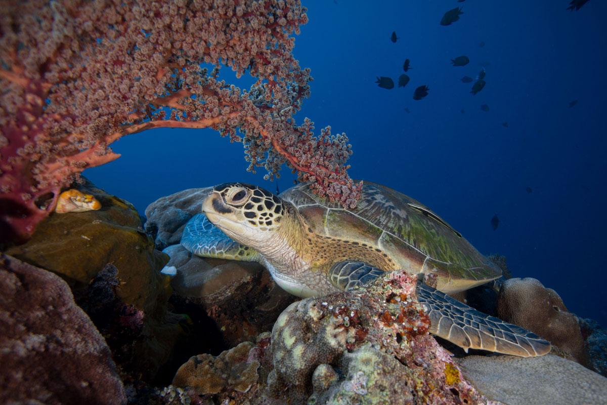 IDN_Siladen-Island-Resort-UW-Turtle-on-Reef-©Siladen-YBpxAYm8.jpg