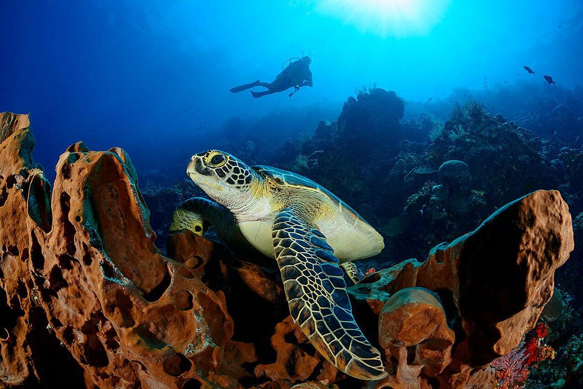 IDN_Siladen-Island-Resort-UW-Turtle-w-Diver-©Siladen-E7-v0Yns.jpg