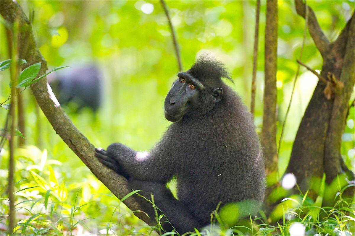 IDN_Tangkoko-National-Park-©-Lembeh-Resort-oukkiKIY.jpg