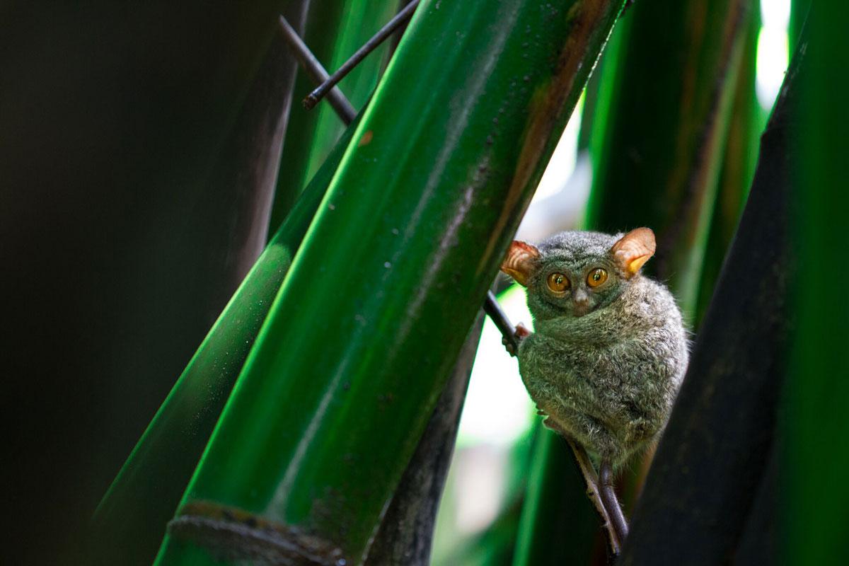 IDN_Tangkoko-National-Park-Tarsier-©-Lembeh-Resort-71GG3j3_.jpg