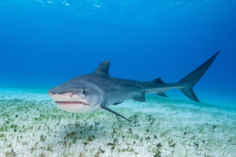 BHS_Bahamas-Tiger-Shark-©-AdobeStock_122477951.jpg