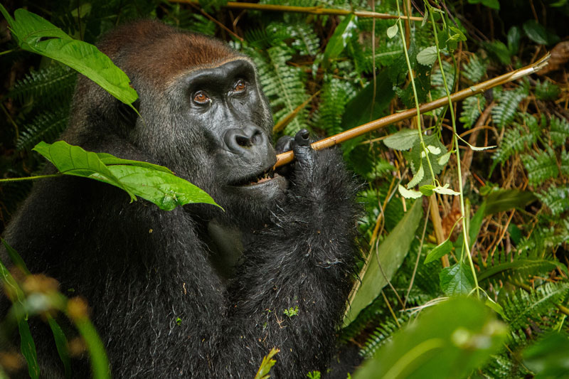 COD_Congo-Eastern-Lowland-Gorilla-©-AdobeStock_132295629.jpg