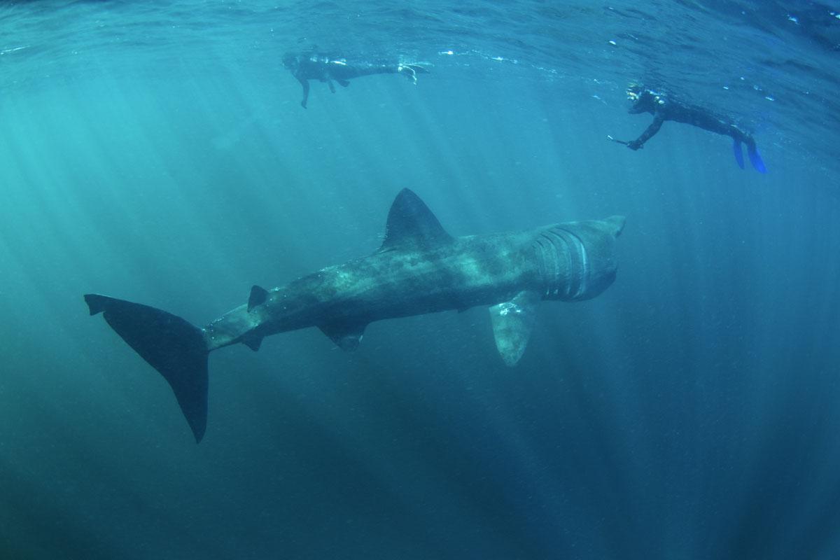 GBR_Scotland-Basking-Shark-w-Snorkellers-©-AdobeStock_168969996.jpg