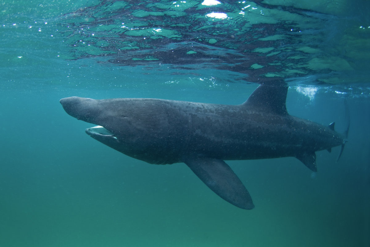 GBR_Scotland-Coll-Island-UW-Basking-Shark-©-AdobeStock_168968715.jpg