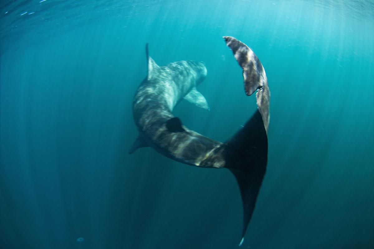 GBR_Scotland-Coll-Island-UW-Basking-Shark-©-AdobeStock_168970657.jpg