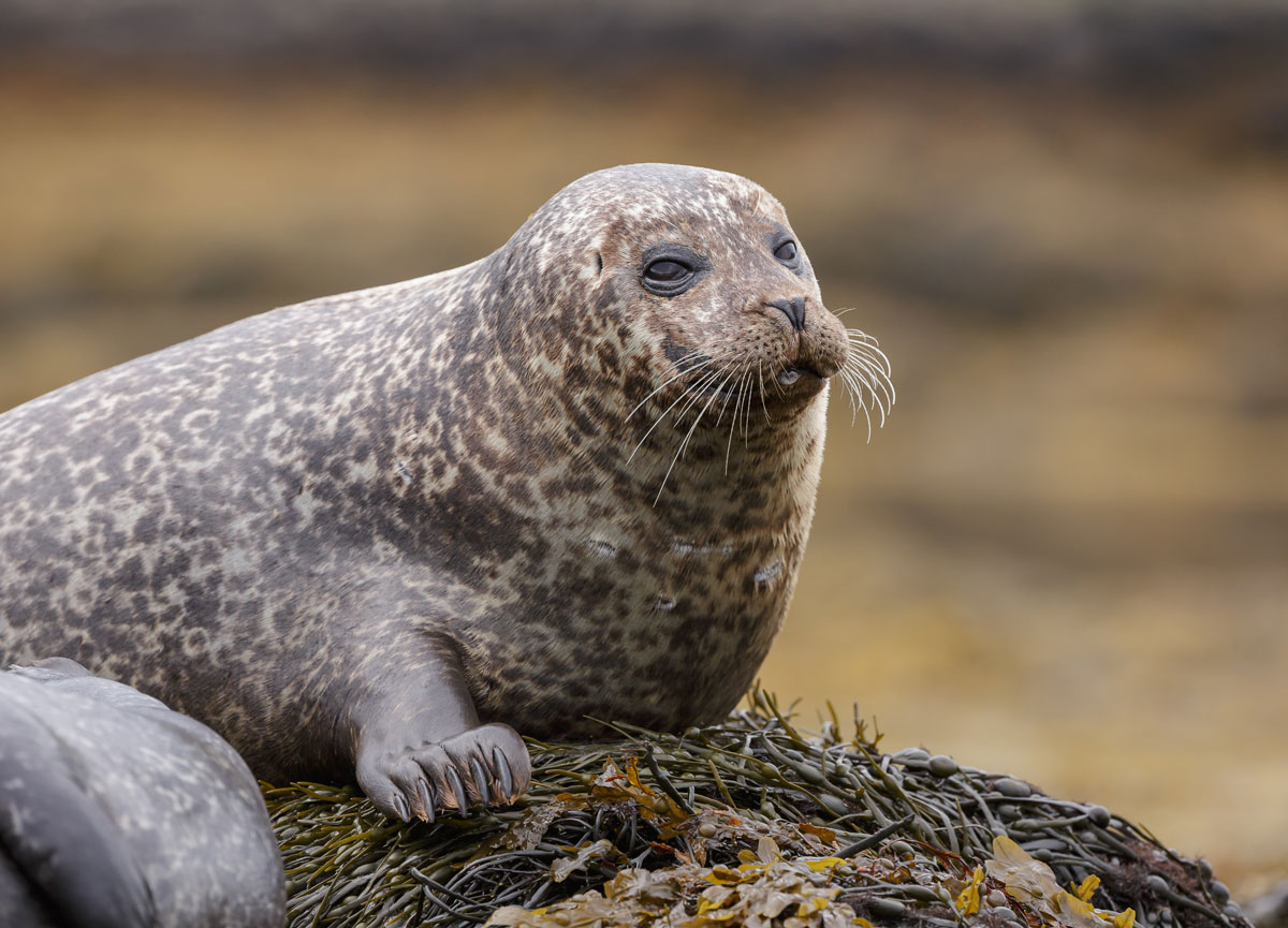 GBR_Scotland-Grey-Seal-©-AdobeStock_69732219.jpg