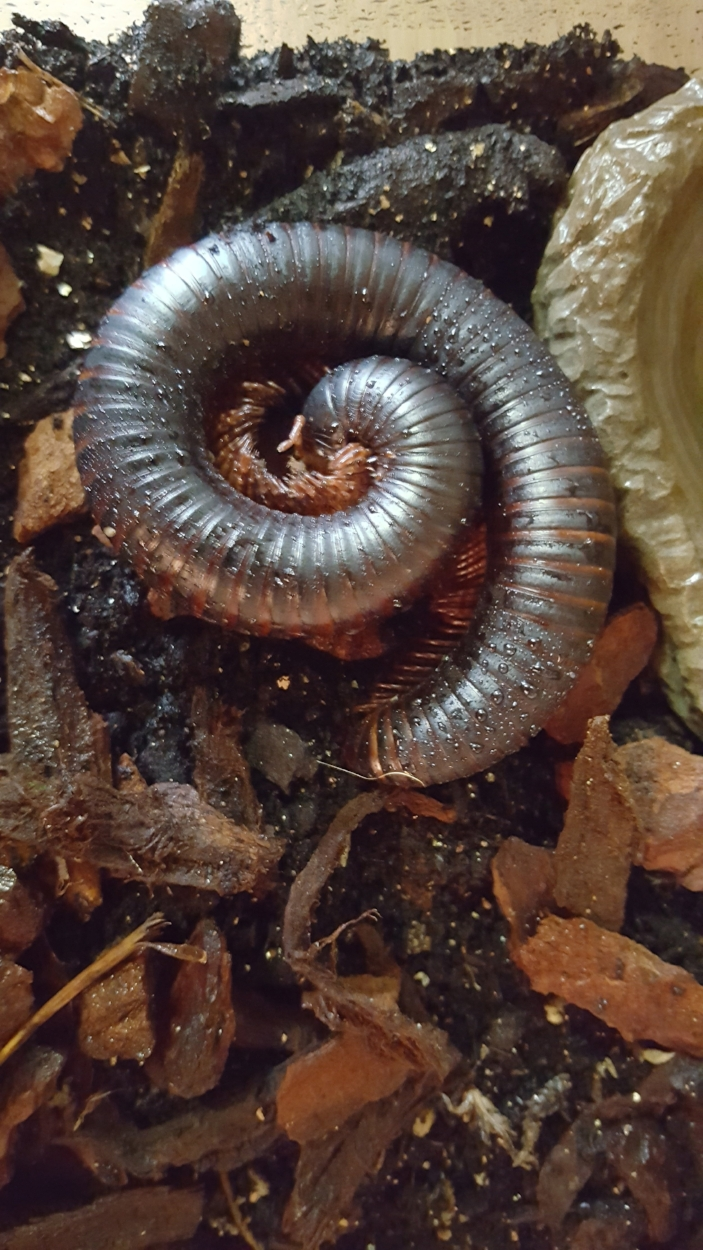 Giant African Millipede - Thomas ( H )