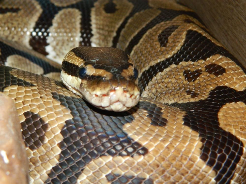 Royal Python Ralph ( H )