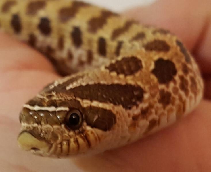 Hognosed snake Pinky ( H )