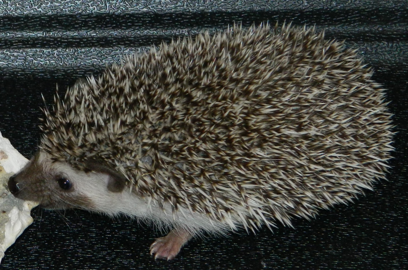 SONIC the African Pygmy Hedgehog ( H )