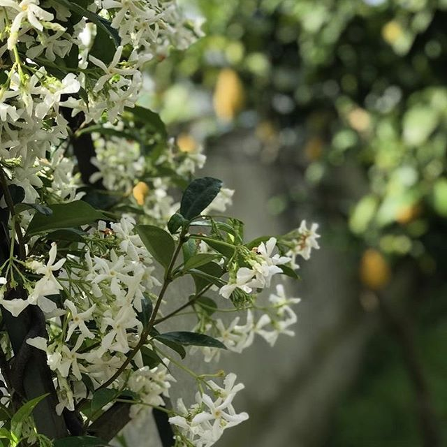 E Il profumo inebriante del gelsomino. . . . . #gelsomino #sicilia #green #flowers