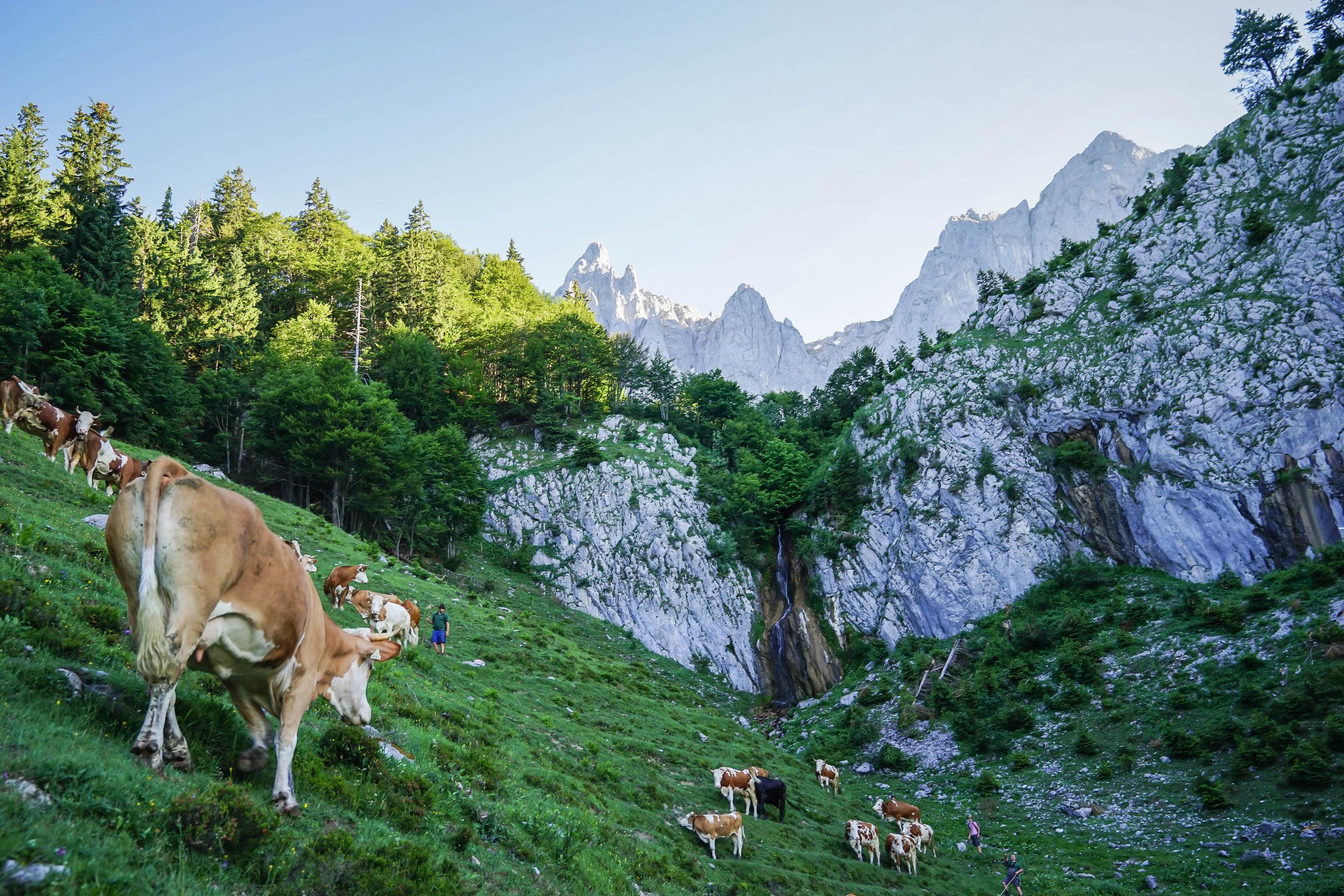 Austria's Cow-herding Festivals - National Geographic Traveler