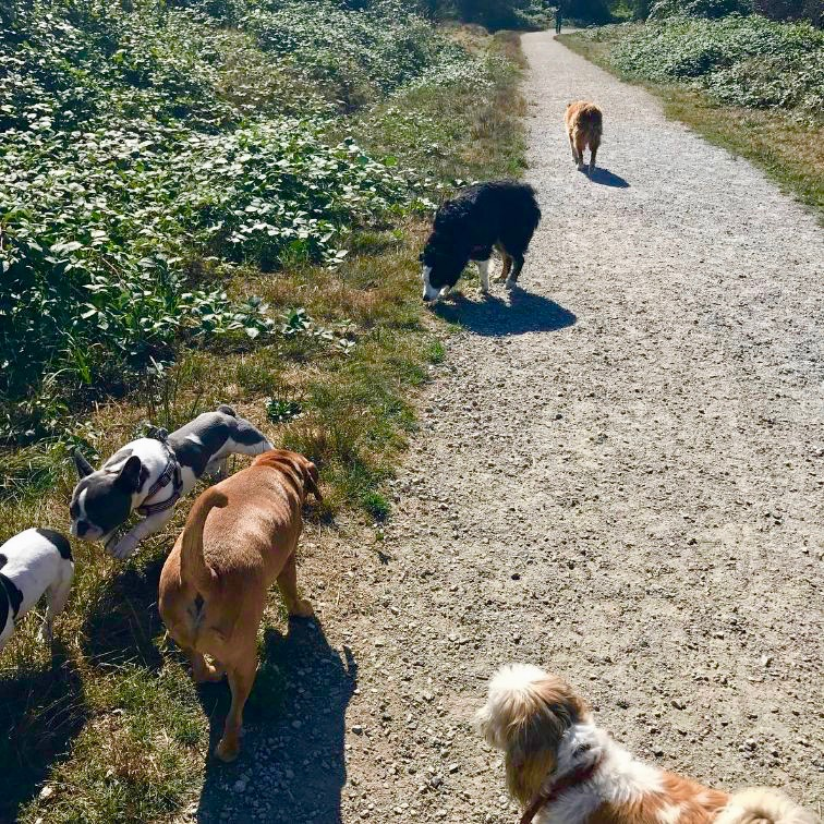 Some of the dogs on a group walk mingling with some new friends.