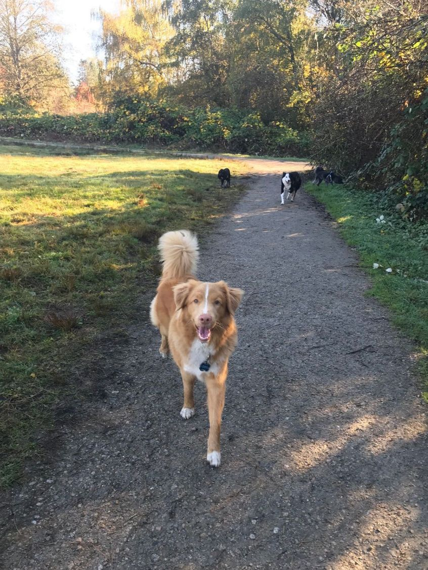 Duke joined the Busy Paws pack in September and is one of our group walk regulars.