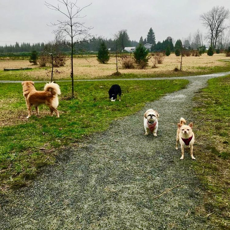Duke, Panda, Nazzy and Jada during our one hour group walk in Langley.