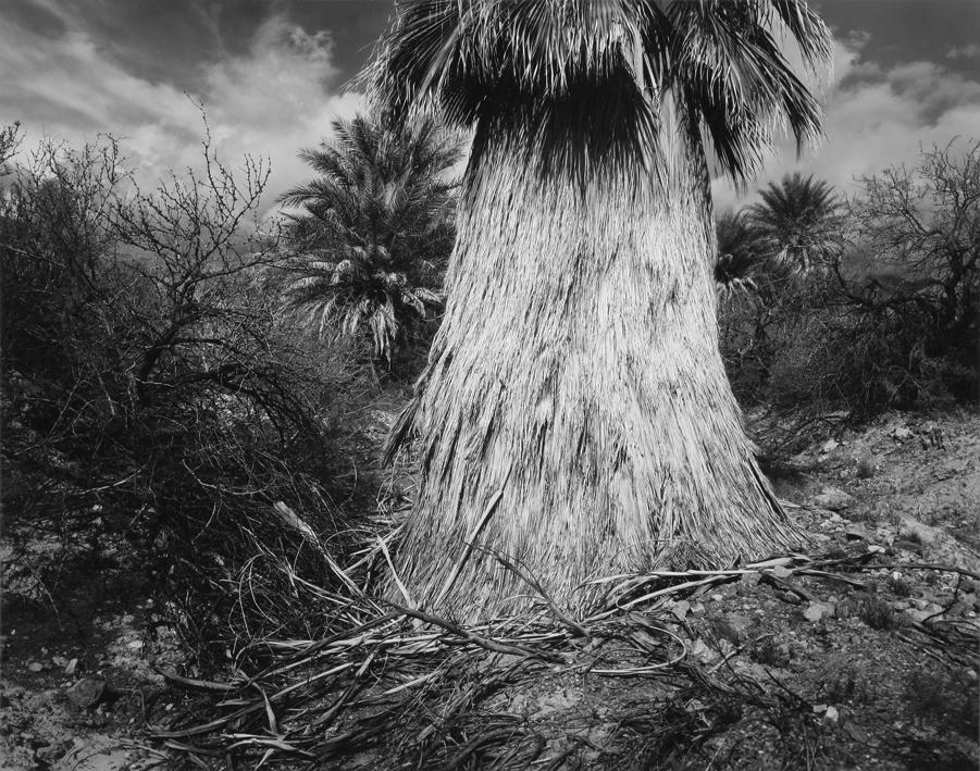 Fan Palm, Death Valley, CA, 1995
