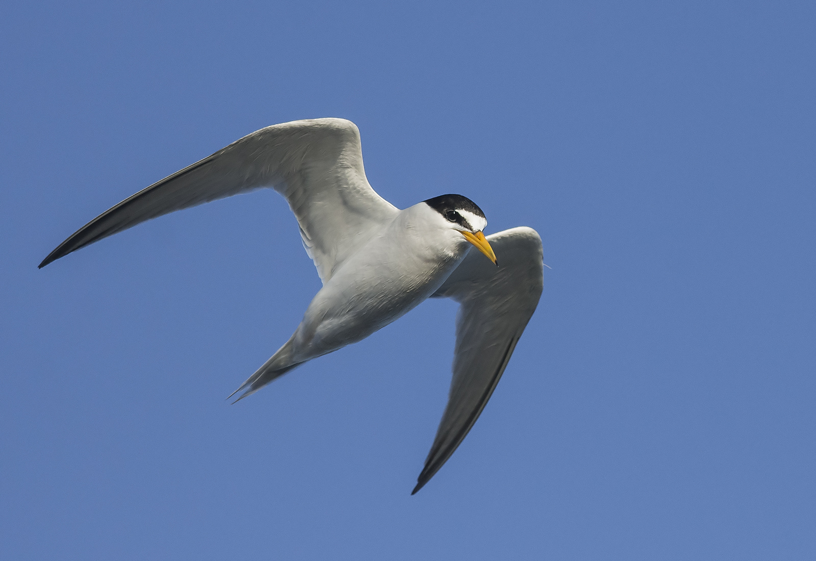 California Least Tern, listed as Endangered under the U.S. Endangered Species Act. (Photo courtesy of Jerry Ting)