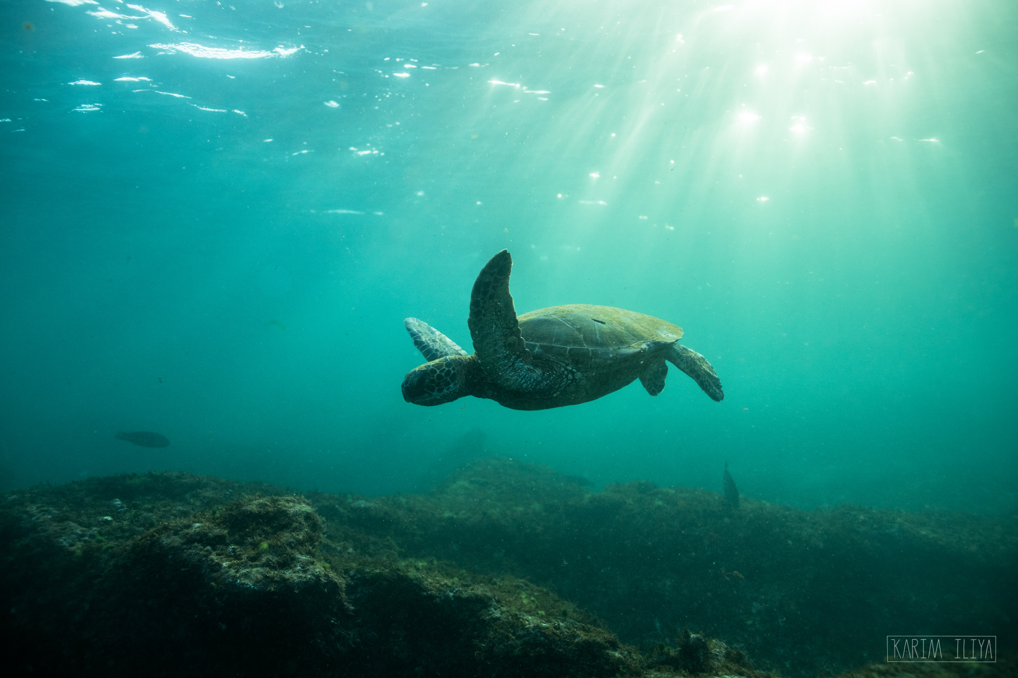 A Hawaiian Green sea turtle cruising through the shallows off Maui, Hawaii.