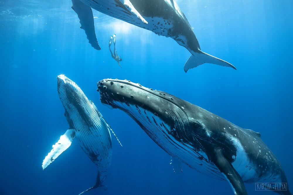 karim-iliya-freedive-humpbacks-swim-whales.jpg