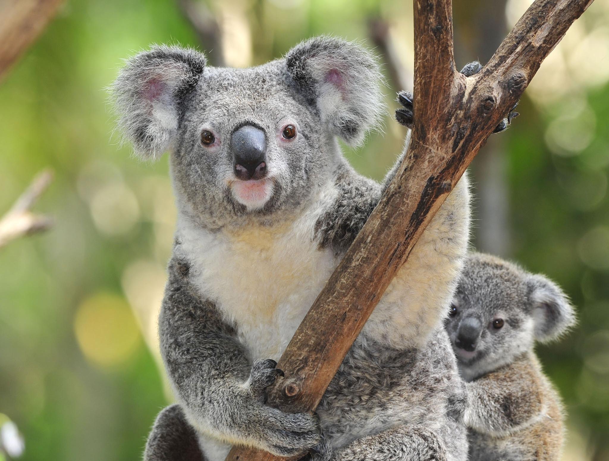 mbt25_koalas.jpg